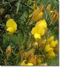 Aulaga:a beautiful plant with yellow flowers but has  very sharp spikes which does injury to livestock...